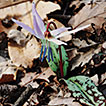 Population structure of Erythronium dens-canis ...
