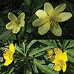 Anemonoides × lipsiensis comb. nov.  ...