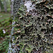 Epiphytic lichens of the sacred natural ...
