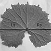 Light intensity affects leaf morphology ...