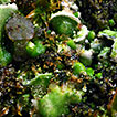 Notulae to the Italian flora of algae, ...