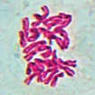 Chromosome numbers for the Italian flora: ...